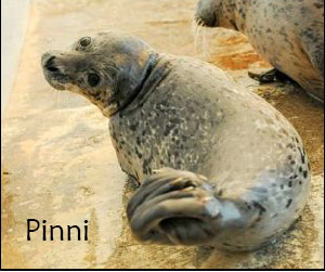 Pinni Seal Pup
