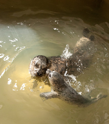 Mother and pup swimming