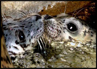 Harbor Seals Face To Face