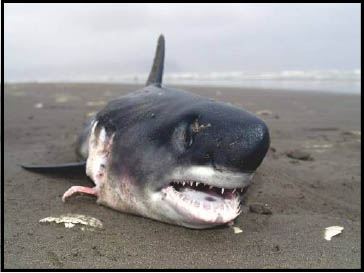 shark on the beach