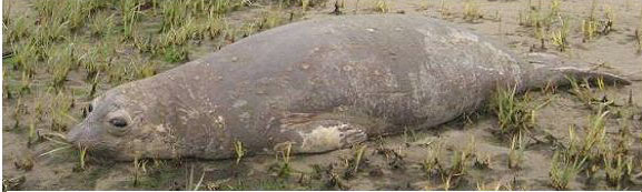 molting elephant seal