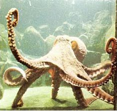 Octopus in the tank with sun light