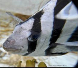 Striped Beakfish profile