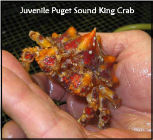 Juvenile Puget Sound King Crab