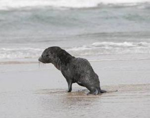 Fur Seal returning to the surf after rope removed.